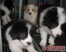 云南昆明盘龙区谁边境牧羊犬要卖狗场常年繁殖出售纯种边牧