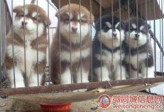 云南昆明安宁本地哪里有狗场安宁狗场阿拉斯加常年出售包运
